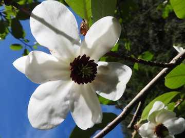 Czarne oczko - Biały kwiatek z czarnym oczkiem.