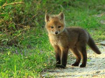 LITTLE FOX - The little fox is standing on the road