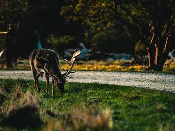 black reindeer eating grass - A deer having a snack before retrieving back to the forest for good night sleep. Jægersborg Dyrehav