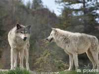SZARE WILKI - Układanka: szare wilki.