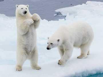 OURS POLAIRES - L'ours polaire est une espèce de grand mammifère prédateur de la famille des ours vivant dan