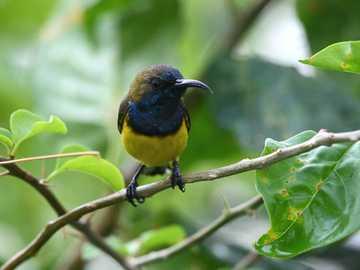 żółty i czarny ptak na gałęzi drzewa - Olive-back Sunbird w Gardens by the Bay. Singapur
