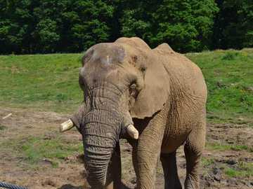 Animalele din jungla-elefantul - Elefantul traieste en Gradina Zoologica si Asia