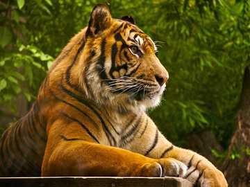 dungatul - hay un tigre en la jungla