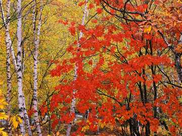 Photo autumn forest - Photo of yellow-red autumn forest.