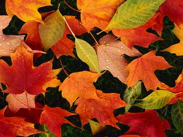 Photo of colorful autumn leaves - Photo Colorful autumn leaves with raindrops.