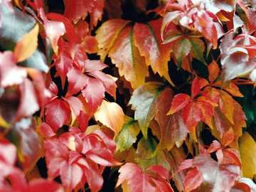 Photo of colorful vine leaves - Photo Colorful vine leaves in autumn.