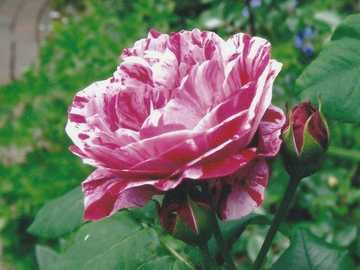 Eine schöne Rose - Eine schöne pinkfarbene Rose.