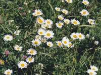 Meadow with daisies