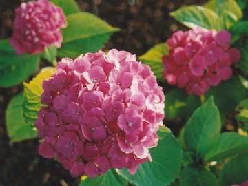 Hydrangeas pink - Pink hydrangeas.