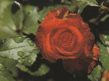 rose rouge - Une belle rose rouge.