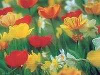 Kolorowe pole tulipanów