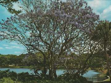 Árbol floreciente de Florida - Árbol floreciente de Florida.
