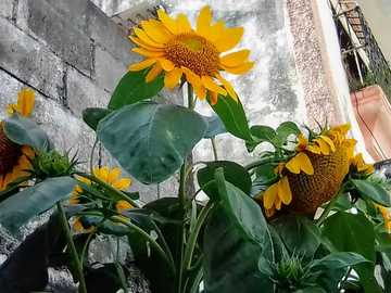 sunflowers - box of blooming sunflowers in the morning when sunrise begins
