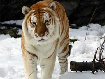 Tygrys syberyjski - Tygrys syberyjski........
