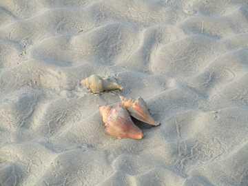 brązowa muszla na białym piasku - Trzy muszle na błyszczących wydmach.