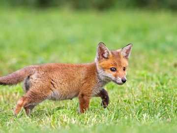 MŁODY LISEK - Zwierzęta: młody rudy lisek w lesie.