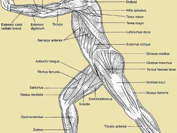 Muscles of Human body - Chart page of human body in standing position