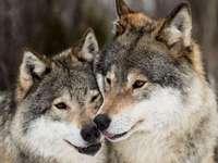 Vlci nádherná zvířata
