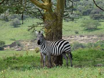 zebra standing near tree during daytime - This zebra was curious about our passing on a tour of Lake Nakuru National Park in Kenya. Lake Nakur