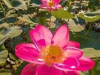 nenúfares cor de rosa