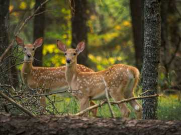 Two spotted fawns in summer. - brown deer standing on brown dried leaves during daytime. Minnesota, USA