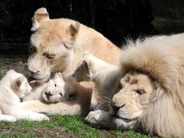 family lions - LEONES CACHORROS CON SUS PADRES