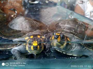 tortuga terecay - hemanos rasa tortuga terecay niña y niño