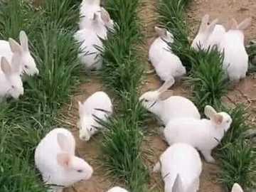 rabbits in the grass - rabbits in the grass - rabbits, rabbits ....