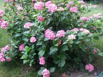schöner dekorativer Strauch - schöner dekorativer rosa Strauch