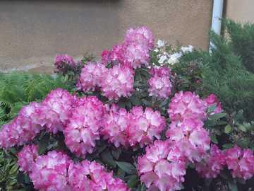 beautiful blooming bush - a beautiful blooming pink shrub