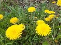 dente-de-leão dente-de-leão amarelo - dente de leão amarelo flor dente de leão