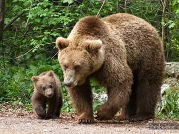 niedźwiedź tapaligos - mięsożerne dzikie zwierzę