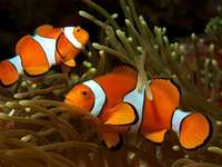 "Clownfish from the cult fairy tale ""Finding Nemo?"