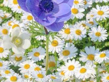 marguerites blanches et une fleur bleue - marguerites blanches et une fleur bleue
