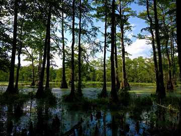 green trees beside river during daytime - swamp, from one of the following: Great Dismal Swamp, Back Bay Wildlife Refuge, False Cape State Par