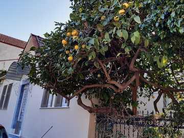 naranjas en el arbol - naranjas en el árbol de enero
