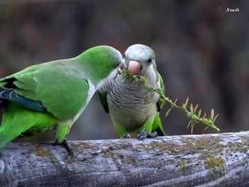 eating together - two wild parrots eating