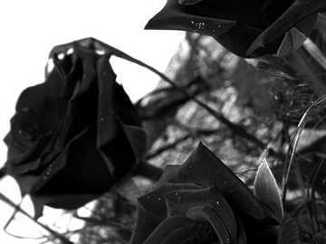 ---- ROSES ---- - ----BEATIFUL ROSES----