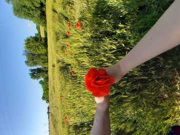 Maciiprimaverii - In the picture are our hands, holding poppies