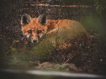 brown fox lying on ground - A young fox snuggling on train tracks in the UK.