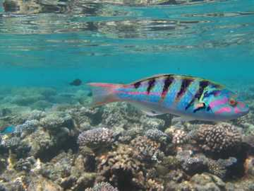 blue and black fish underwater photography - Thalassoma Hardwicke in in shallow water with beautiful coral reef in background.