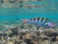 fotografia subaquática de peixes azuis e pretos