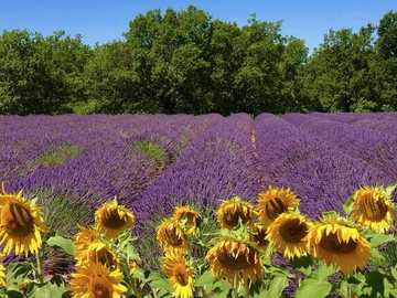 Lavender and sunflowers. - Lavender and sunflowers.