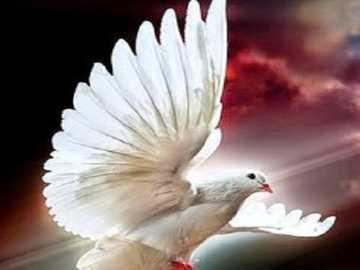 Colombe blanche. - Héraut de la colombe blanche .......