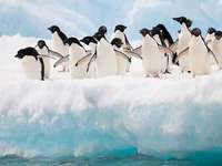 A bunch of 19 penguins - A bunch of 19 penguins in the snow
