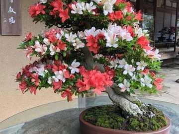 Bonsai... - Bonsai. Kwiatek. Puzzle.