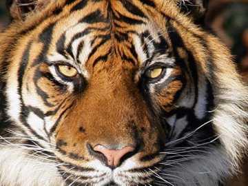 Тигър чака - Това изображение показва красив тигър