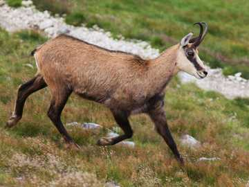 A chamois on the trail - Chamois on the trail ;;;;