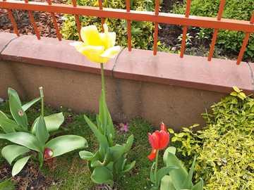 przekwitające tulipany - przekwitające więdnące tulipany